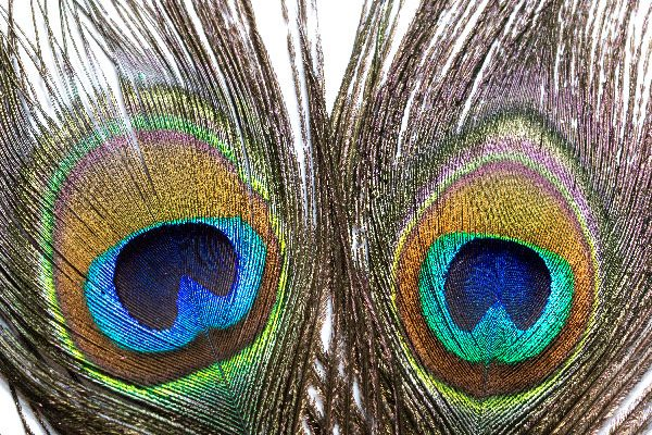 Peacock Eye Tail Feathers