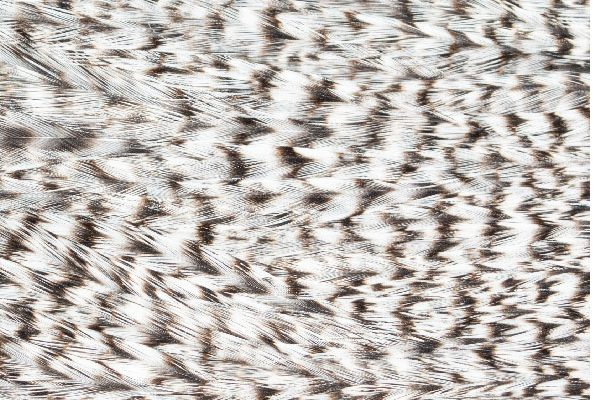 Natural Grizzle Cock Cape